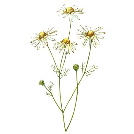 Chamomile or Daisy bouquets, white flowers. Realistic botanical sketch on white background for design, hand draw illustration in botanical style Imagens