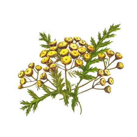 Wildflowers medicinal tansy watercolor illustrations. Isolated on the white background. Blossom, herbarium plant. Accurate botanical illustration