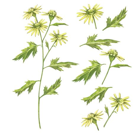 Chamomile or Daisy bouquets, yellow flowers. Realistic botanical sketch on white background for design, hand draw illustration in botanical style