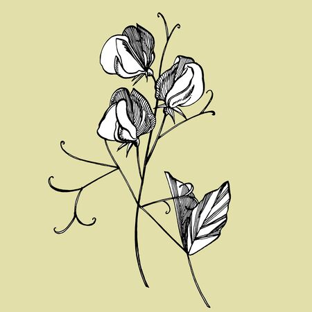 Sweet pea flowers drawing and sketch with line-art on white backgrounds. Floral pattern with flowers of sweet peas. Elegant the template for fabric, paper, postcard Stock Vector - 132955806