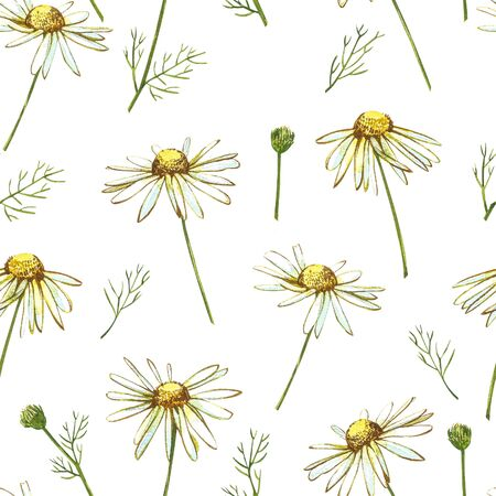 Chamomile or Daisy bouquets, white flowers. Realistic botanical sketch on white background for design, hand draw illustration in botanical style. Seamless patterns. Stock Photo