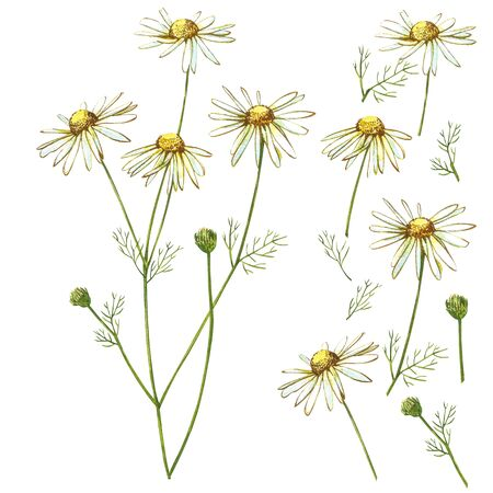 Chamomile or Daisy bouquets, white flowers. Realistic botanical sketch on white background for design, hand draw illustration in botanical style. Stock Illustration - 132956093