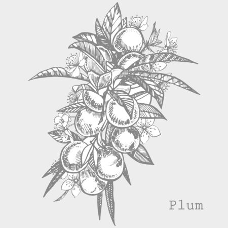 Plums hand drawn illustration. Ink sketch. Hand drawn illustration. Isolated on white background. Healthy organic food. Farm market products. Best for package design Stock Illustration - 132757973