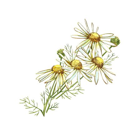 Chamomile or Daisy bouquets, white flowers. Realistic botanical sketch on white background for design, hand draw illustration in botanical style Stock Illustration - 132956112