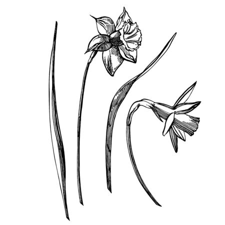 Daffodil or Narcissus flower drawings. Collection of hand drawn black and white daffodil. Hand Drawn Botanical Illustrations 向量圖像