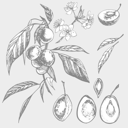 Plums hand drawn illustration. Ink sketch. Hand drawn illustration. Seamless pattern. Healthy organic food. Farm market products. Best for package design. Banque d'images - 133612796