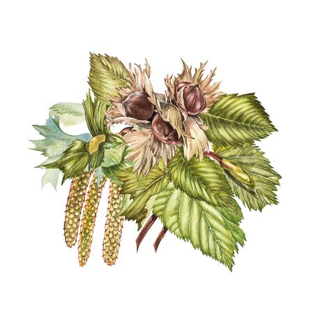 Watercolor realistic illustration of hazelnuts. Set of watercolor hazelnuts elements, hand painted isolated on a white background. Stock Photo