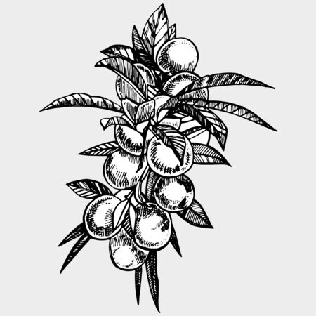 Plums hand drawn illustration. Ink sketch. Hand drawn illustration. Seamless pattern. Healthy organic food. Farm market products. Best for package design. Banque d'images - 133613044