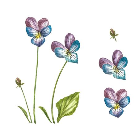 Pansy or daisy flower.Watercolor botanical illustration. Good for cosmetics, medicine, treating, aromatherapy, nursing, package design, field bouquet. Hand drawn wild hay flowers.