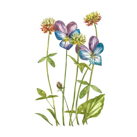 Pansy and Clover flowers. Watercolor botanical illustration. Good for cosmetics, medicine, treating, aromatherapy, nursing, package design, field bouquet. Hand drawn wild hay flowers.