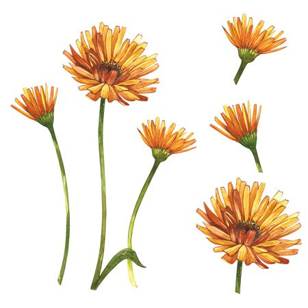 Calendula or daisy flower.Watercolor botanical illustration. Good for cosmetics, medicine, treating, aromatherapy, nursing, package design, field bouquet. Hand drawn wild hay flowers. Stock Photo