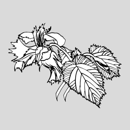 Realistic illustration of hazelnuts. Set of graphic hazelnuts elements, hand painted isolated on a white background. Standard-Bild - 134859116