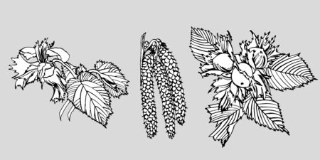 Realistic illustration of hazelnuts. Set of graphic hazelnuts elements, hand painted isolated on a white background. Standard-Bild - 134859122