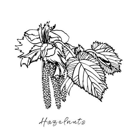 Realistic illustration of hazelnuts. Set of graphic hazelnuts elements, hand painted isolated on a white background. Standard-Bild - 134859123