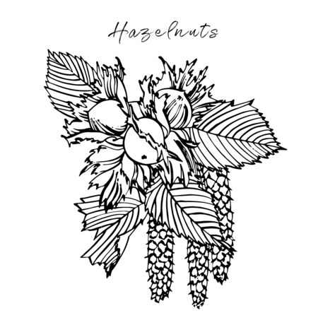 Realistic illustration of hazelnuts. Set of graphic hazelnuts elements, hand painted isolated on a white background.