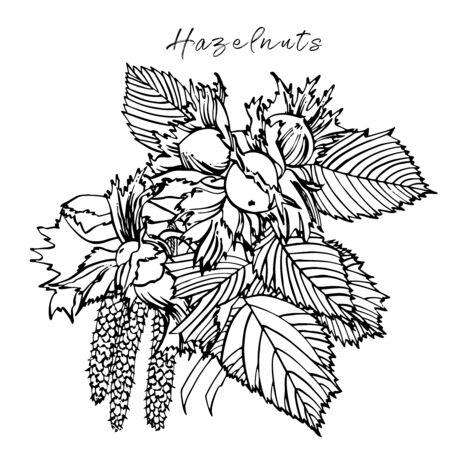 Realistic illustration of hazelnuts. Set of graphic hazelnuts elements, hand painted isolated on a white background. Standard-Bild - 134859125