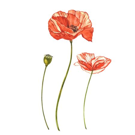 Watercolor red poppies. Wild flower set isolated on white. Botanical watercolor illustration, red poppies bouquet, rustic poppy flowers Banque d'images - 137257458