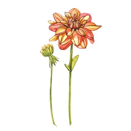 Watercolor orange dahlias. Wild flower set isolated on white. Botanical watercolor illustration, orange dahlias bouquet, rustic dahlias flowers Banque d'images - 137258202