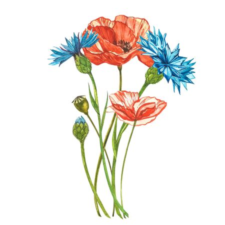 Watercolor red poppies. Wild flower set isolated on white. Botanical watercolor illustration, red poppies bouquet, rustic poppy flowers Banque d'images - 137426013