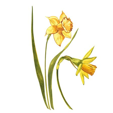 Watercolor Narcissus. Wild flower set isolated on white. Botanical watercolor illustration, yellow narcissus bouquet, rustic flowers. Watercolor illustration on white background. Set of drawing floral elements, watercolor botanical illustration