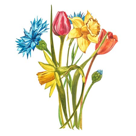 Watercolor Narcissus Tulips and Dahlias. Wild flower set isolated on white. Botanical watercolor illustration, yellow narcissus bouquet, rustic flowers. Watercolor illustration on white background. Set of drawing floral elements, watercolor botanical illustration