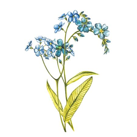Watercolor Forget-me-not flowers. Wild flower set isolated on white. Botanical watercolor illustration, rustic flowers. Good for cosmetics, medicine, treating, aromatherapy, nursing, package design, field bouquet. Hand drawn wild hay flowers. Zdjęcie Seryjne