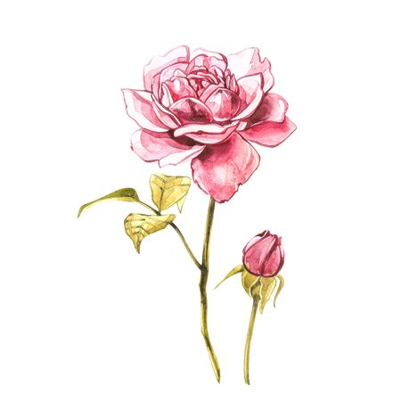 Watercolor pink wild roses. Wild flower set isolated on white. Botanical watercolor illustration, roses bouquet, rustic flowers. Isolated on white background Zdjęcie Seryjne