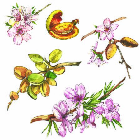 Almond branch with flower. Watercolor illustration. Almond set watercolor isolated on white background 스톡 콘텐츠