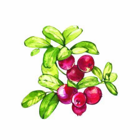 Lingonberry, cranberry watercolor set illustration isolated on white background