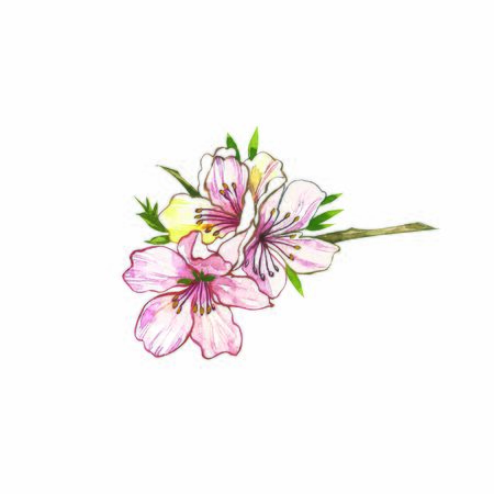 Almond branch with flower. Watercolor illustration. Almond set watercolor isolated on white background.