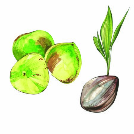 Coconut hand drawn watercolor illustrations on a white background. Exotic fruits 스톡 콘텐츠