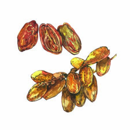 Dates. Hand drawn watercolor illustrations on white background.