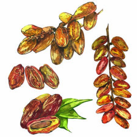 Dates. Hand drawn watercolor illustrations on white background
