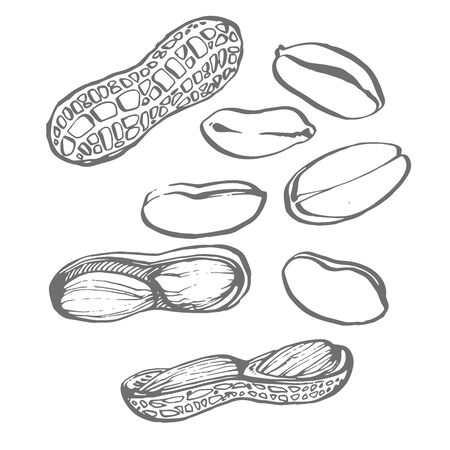 Peanut vector drawing set. Isolated hand drawn berry on white background. Engraved style illustration