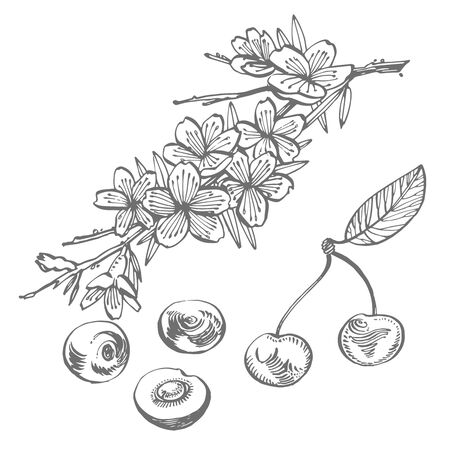Cherry vector drawing set. Isolated hand drawn berry on white background. Summer fruit engraved style illustration