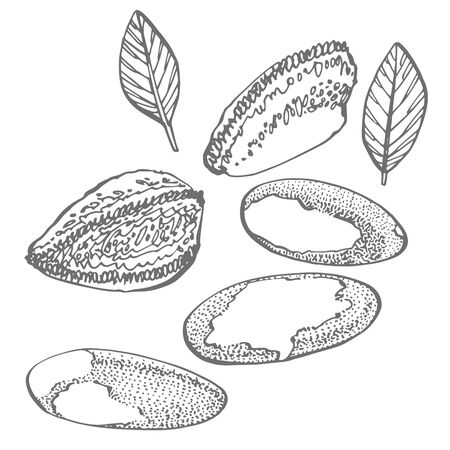 Brazilian nut set of hand drawn sketches on an white background. Organic vegetarian product. Perfect for recipe, menu, label, packaging, Vintage set with nuts, leaves, branches