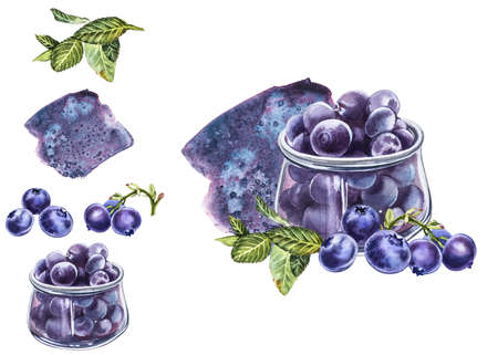 Blueberry. Watercolor botanical illustration. Hand drawn watercolor painting blueberry on white background.