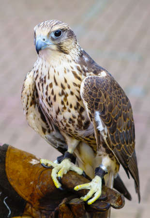 hawk: saker hawk Stock Photo