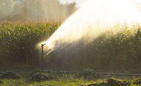 fertile land: Field of corn Stock Photo