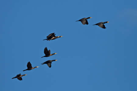 cormorants: cormorants in formation