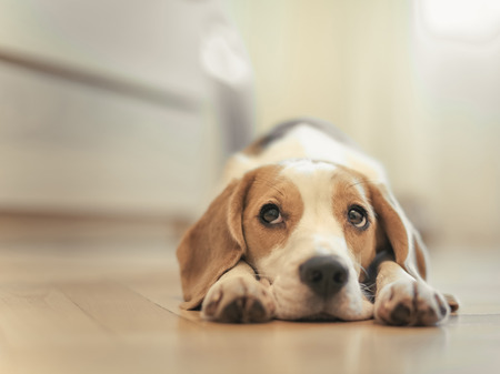 misses: Beagle dog lying on the floor in the apartment  Sleeps and misses  Stock Photo