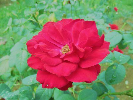 Loving red rose