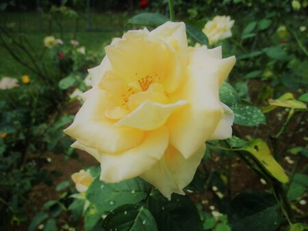 White Rose is looking for love 写真素材