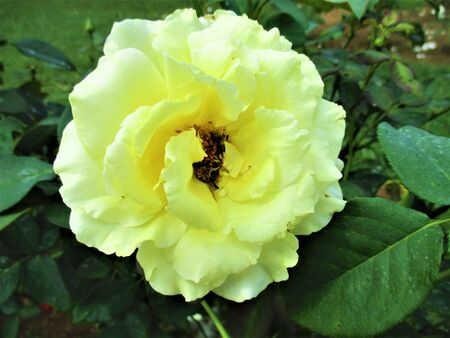 Yellow rose mixed with white color gives love.
