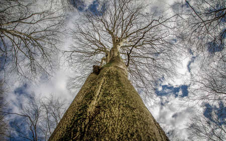 A tree without leaves strives for sunlight in early spring Stock Photo