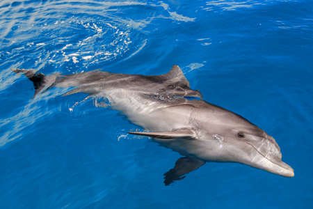 The yong Bottlenose dolphin is swimming in red sea near the beach on shellow water Stock Photo