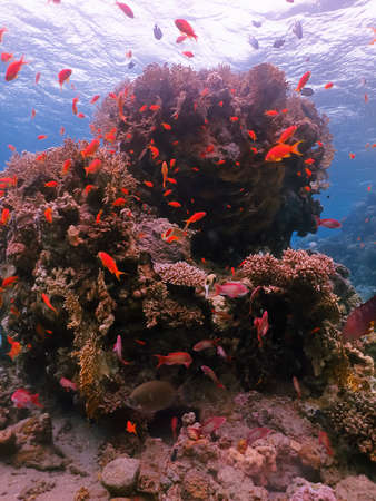 Diving in underwater coral reef world at red sea with fish and corals