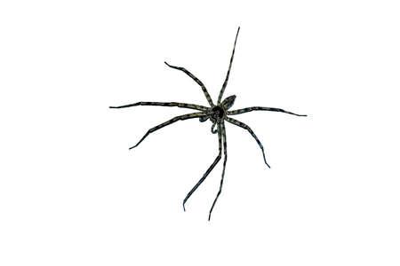 Australian Huntsman Spider on a white background