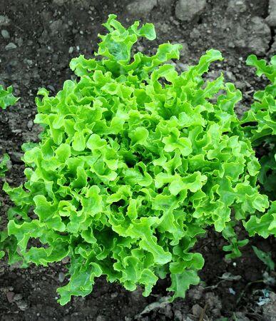 escarola: Escarola crece en el suelo
