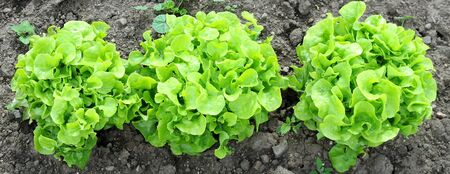 lactuca: Three heads of green oak leaf lettuce growing in the ground